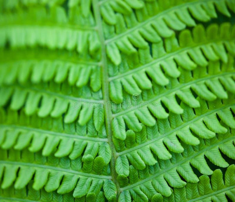Close up da haste e das folhas verdes da samambaia fotografia de stock