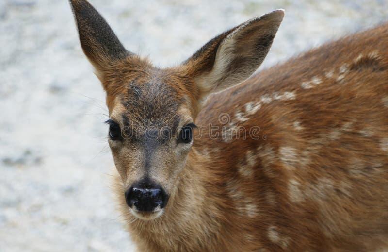 Close-up da jovem corça do bebê imagem de stock royalty free