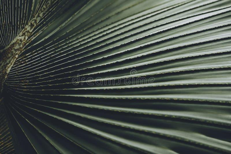 Close-up da licença de nobilis de Bismarckia da palmeira de Bismarck fotografia de stock royalty free
