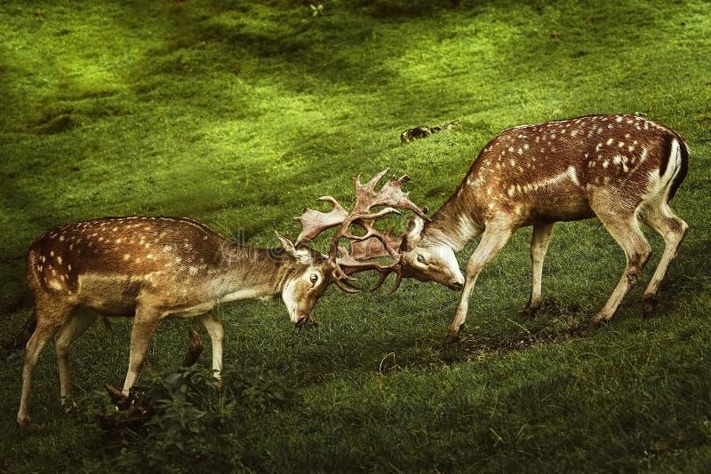 Close up da luta dos cervos fotos de stock royalty free