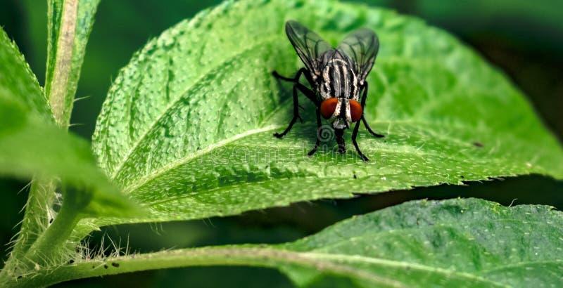 Close up da mosca comum, conhecido scientifically como o Musca Domestica que senta-se na folha verde fresca da grande textura e q fotos de stock