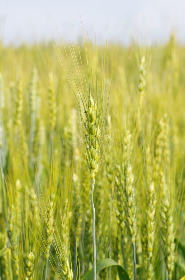 Close up da orelha de Rye imagem de stock