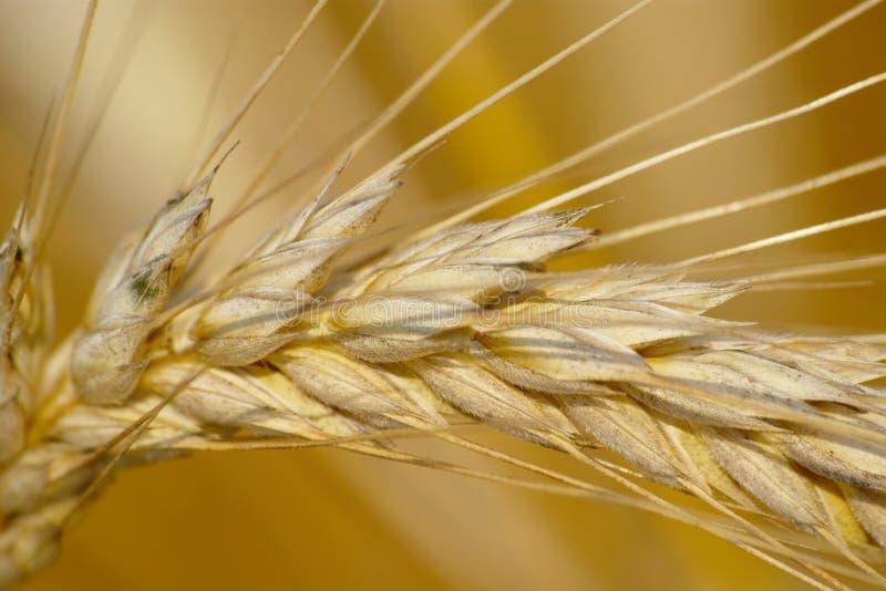Close-up da orelha madura do trigo imagem de stock royalty free