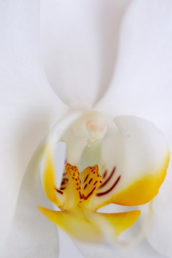 Close up da orquídea fotografia de stock royalty free