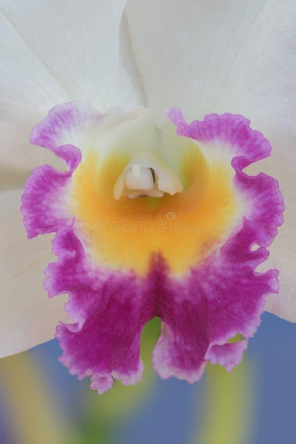 Close up da orquídea branca, amarela e roxa imagem de stock royalty free