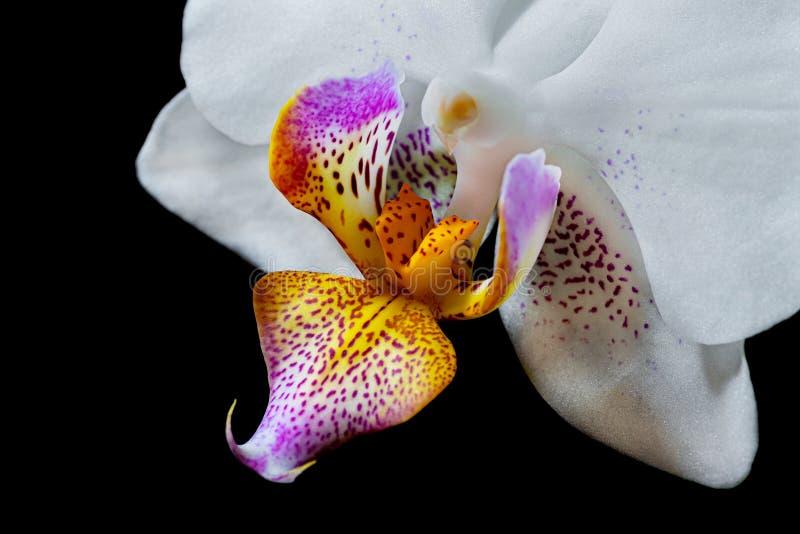 Close-up da orquídea branca com centro roxo-amarelo imagem de stock