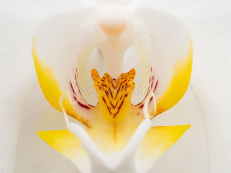 Close up da orquídea branca e amarela foto de stock royalty free