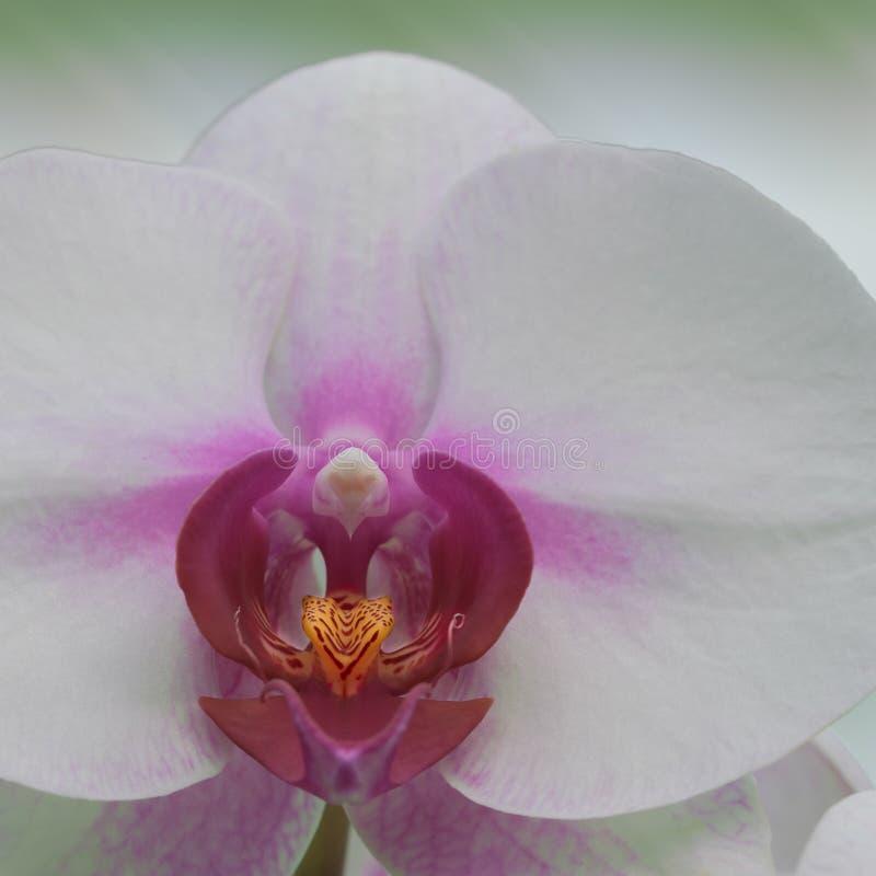 Close up da orquídea cor-de-rosa e branca imagens de stock royalty free