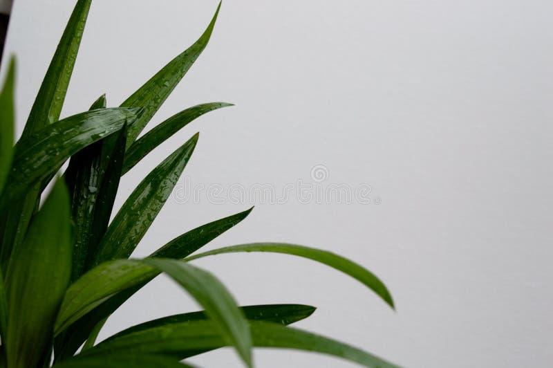 Close-up da palma dourada do bastão foto de stock royalty free