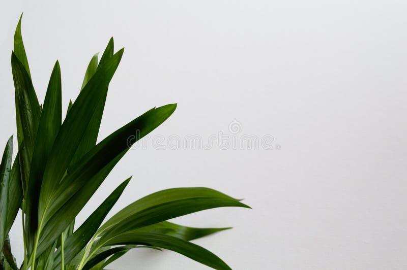 Close-up da palma dourada do bastão imagem de stock royalty free