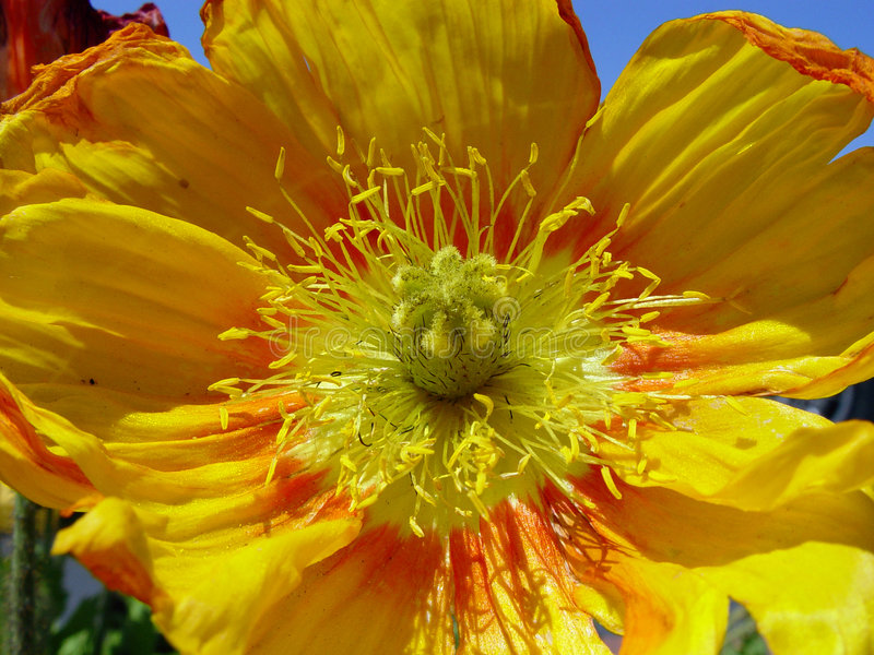 Close up da papoila amarela imagens de stock royalty free