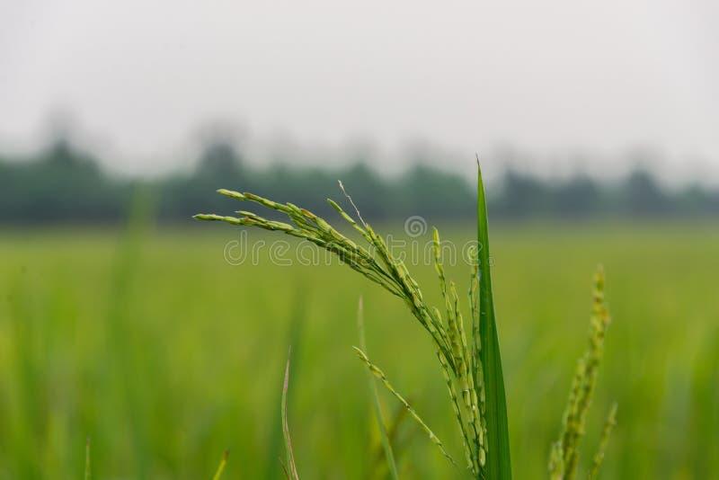 Close up da planta da almofada de arroz foto de stock
