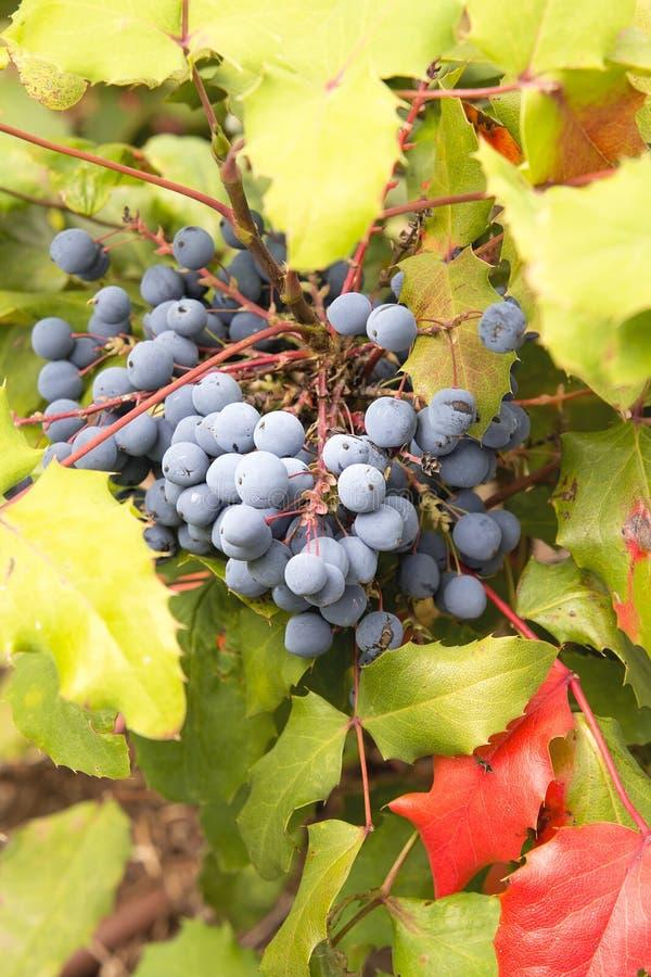 Close up da planta da uva de Oregon imagens de stock