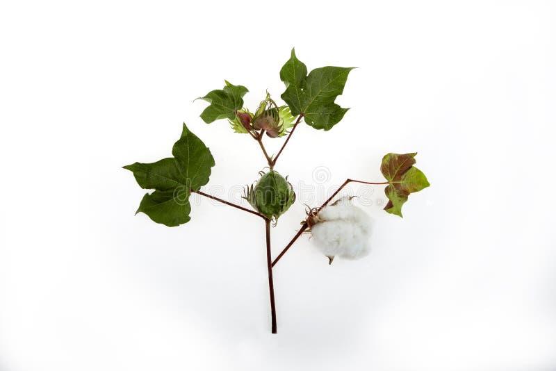 Close up da planta de algodão no estúdio fotografia de stock