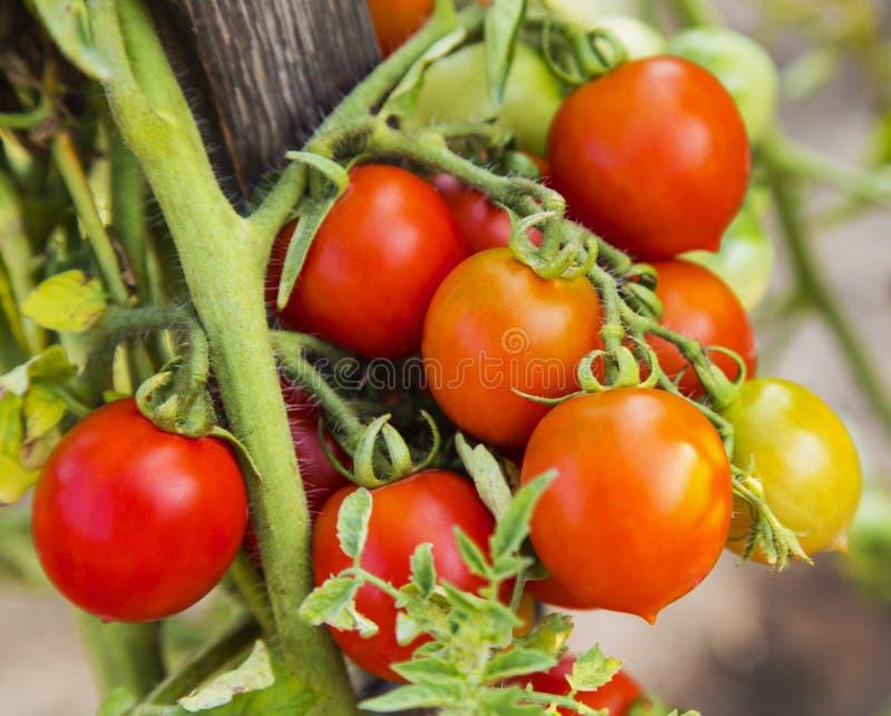 Close up da planta de tomate fotos de stock royalty free