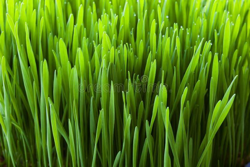 Close-up da planta de Wheatgrass imagem de stock