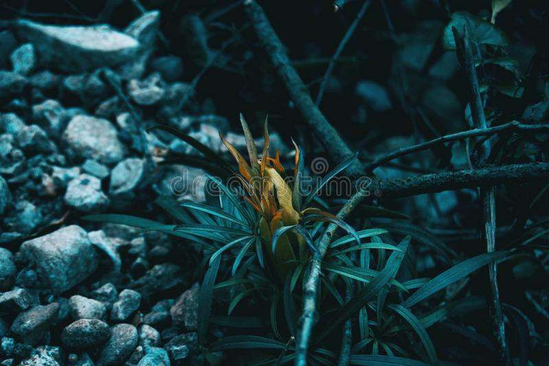 Close-up da planta do foetidus do helleborus imagens de stock royalty free