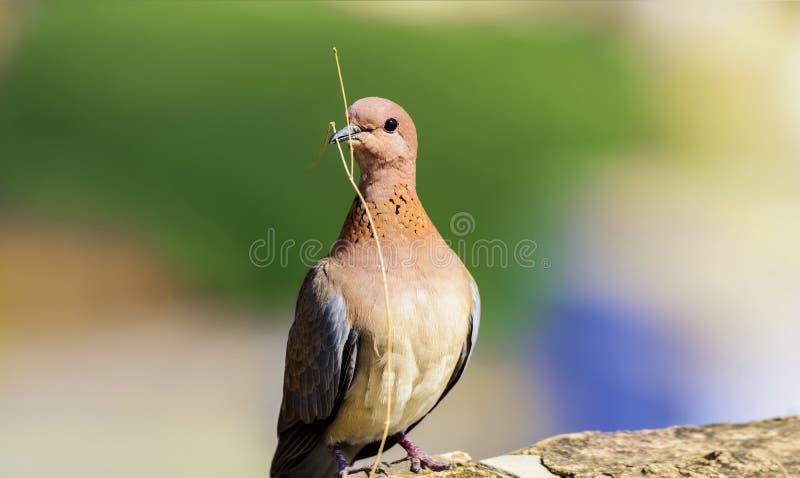 Close up da pomba colorida, pombo com ramo pequeno fotografia de stock royalty free