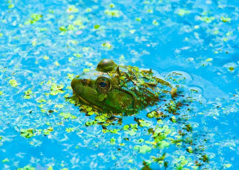 Close up da râ verde na água foto de stock royalty free