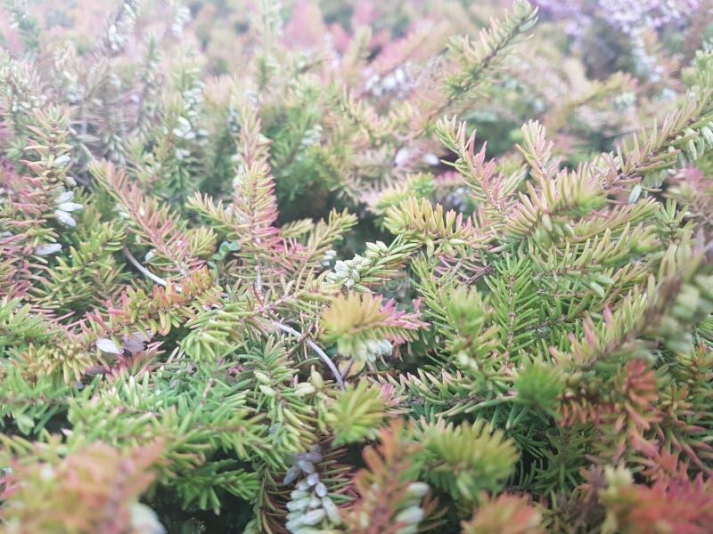 Close-up da refeição matinal do abeto vermelho Foco de superfície Close-up verde macio da refeição matinal do pinho Conceito do p fotografia de stock