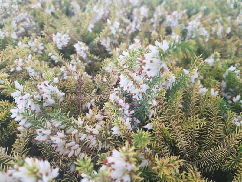 Close-up da refeição matinal do abeto vermelho Foco de superfície Close-up verde macio da refeição matinal do pinho Conceito do p foto de stock royalty free
