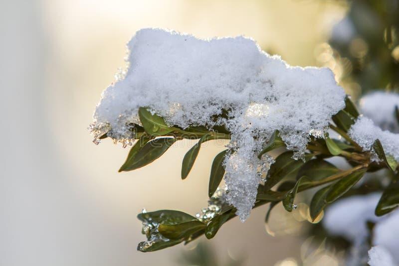 Close-up da refeição matinal do arbusto com as folhas verdes molhadas pequenas cobertas com a neve grossa no fundo abstrato ensol imagens de stock