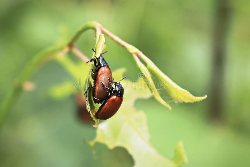 Close up da reprodução dois Aspen Leaf Beetles imagens de stock
