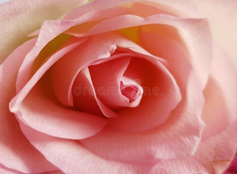 Close up da rosa macia Fundo cor-de-rosa de Rosa Flor macia bonita fotografia de stock