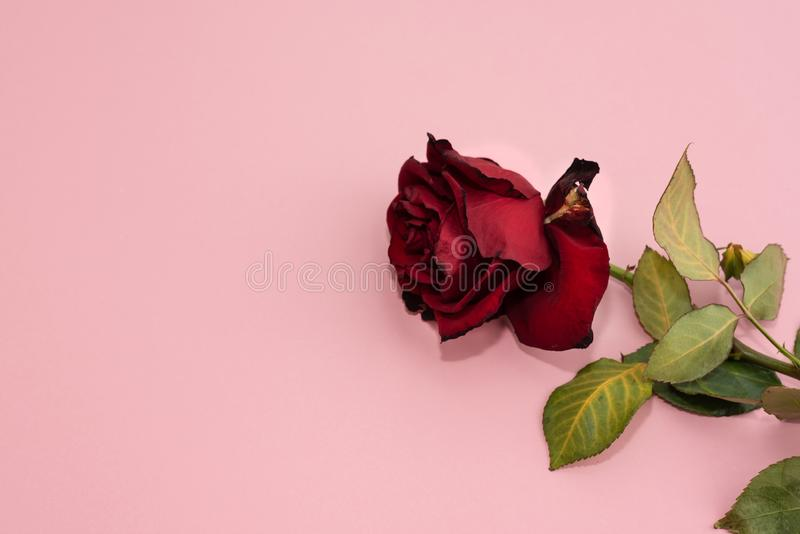 Close up da rosa vermelha murcho e secada no rosa Conceito de projeto fotografia de stock
