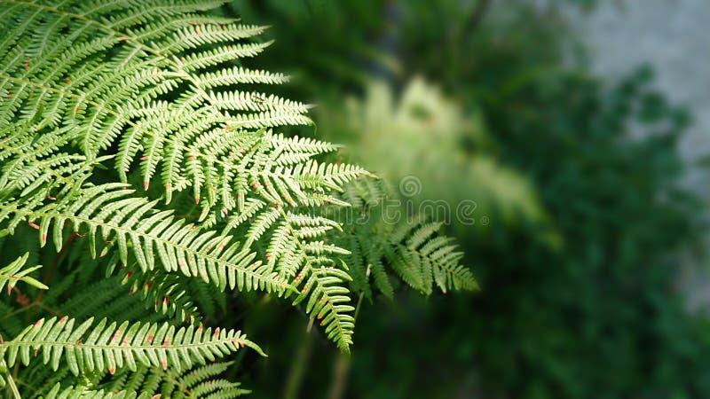 Close up da samambaia fotografia de stock