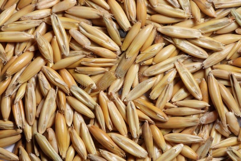 Close-up da semente da aveia fotografia de stock