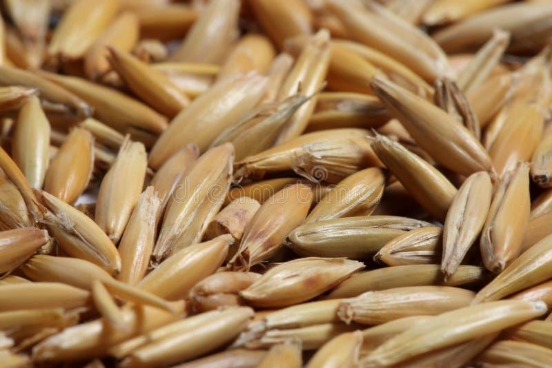 Close-up da semente da aveia fotos de stock royalty free