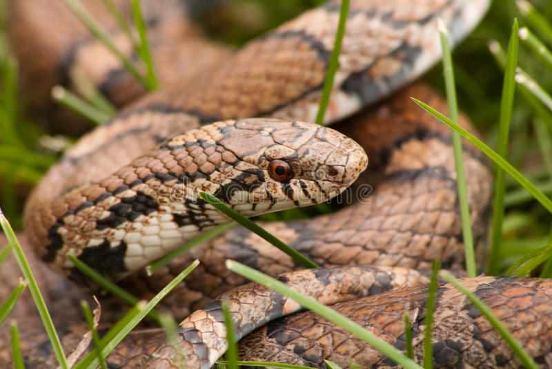 Close-up da serpente de Bull fotografia de stock