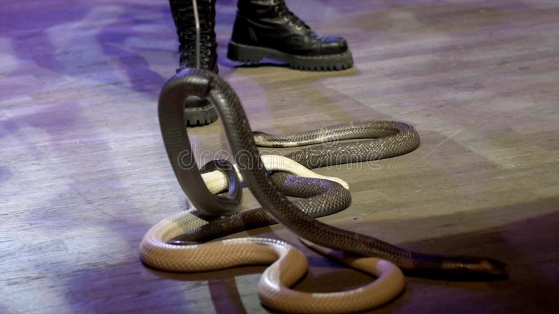 Close-up da serpente no circo a??o O encantador recolhe a arena do circo entrar silenciosamente das serpentes durante o desempenh fotos de stock