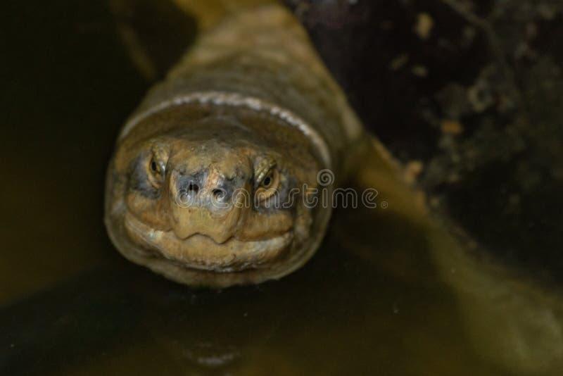 Close-up da tartaruga na água que olha para cima fotos de stock royalty free