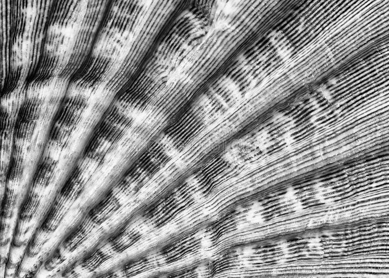 Close up da textura da concha do mar em preto e branco fotos de stock