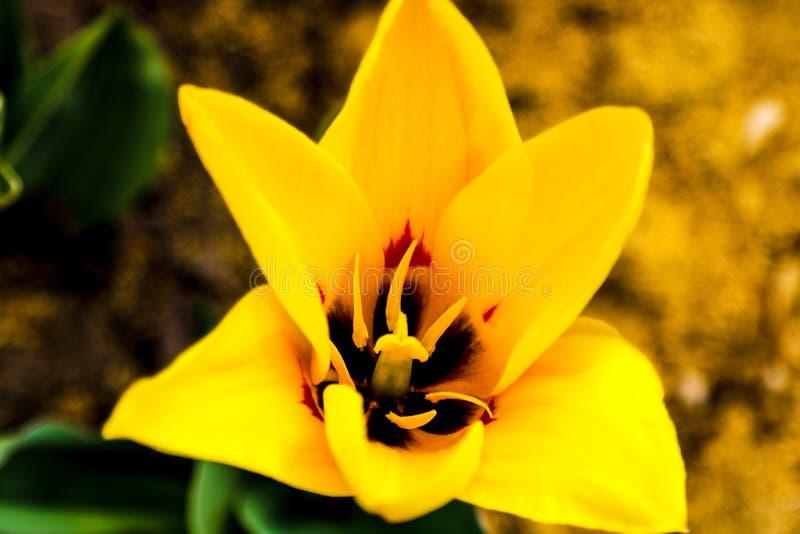 Close-up da tulipa amarela no canteiro de flores exterior em um dia ensolarado Floresc?ncia da mola das tulipas em um parque p?bl imagem de stock