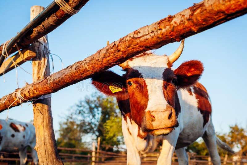 Close-up da vaca branca e marrom na jarda de exploração agrícola no por do sol Gado que anda fora no verão fotografia de stock royalty free