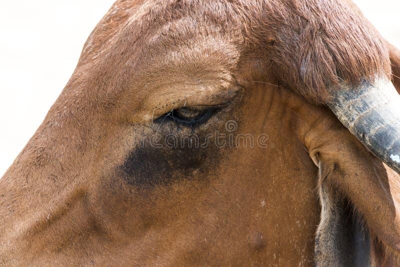 Close up da vaca indiana com os rasgos em seu olho - Índia de Kutch Gujarat fotos de stock royalty free