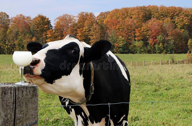 Close-up da vaca preto e branco que investiga um vidro do leite em um dia da queda imagem de stock