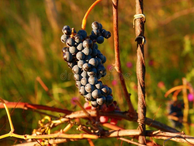 Close-up da vinha comum roxa Opinião detalhada vinhas congeladas em um vinhedo fotos de stock royalty free