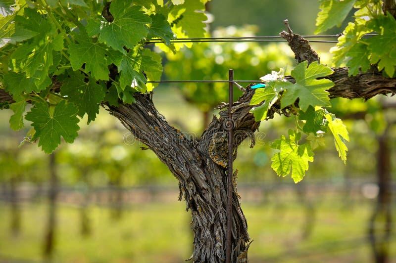 Close up da vinha de Napa Valley na mola fotografia de stock royalty free