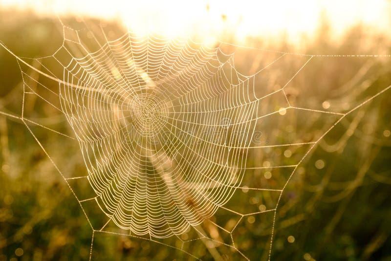 Close up da Web do ` s da aranha com gotas do orvalho no alvorecer Grama molhada antes do aumento do sol Web de aranha com gotas  foto de stock royalty free