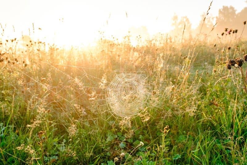 Close up da Web do ` s da aranha com gotas do orvalho no alvorecer Grama molhada antes do aumento do sol Web de aranha com gotas  imagens de stock royalty free