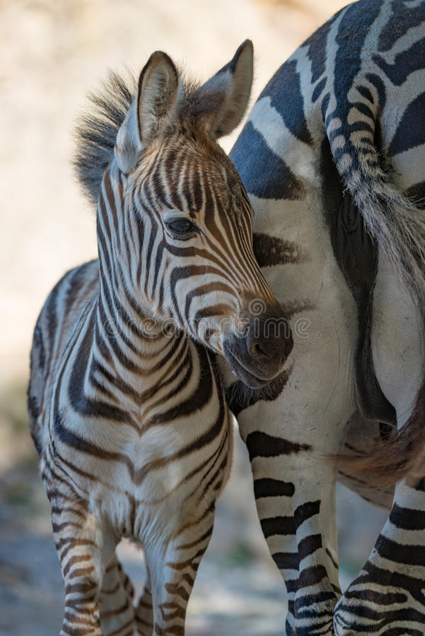 Close-up da zebra de Grevy do bebê pela mãe fotografia de stock royalty free