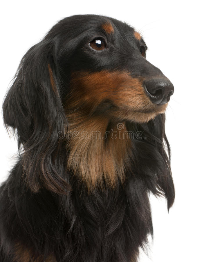 Close-up Of Dachshund, 4 Years Old Royalty Free Stock Images