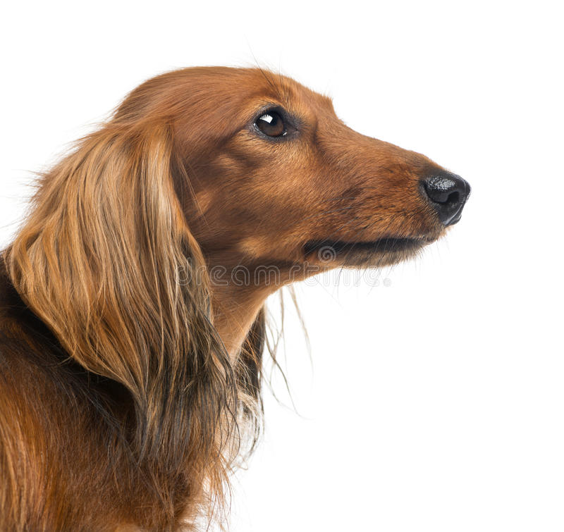 Close-up Of A Dachshund, 4 Years Old Royalty Free Stock Photos