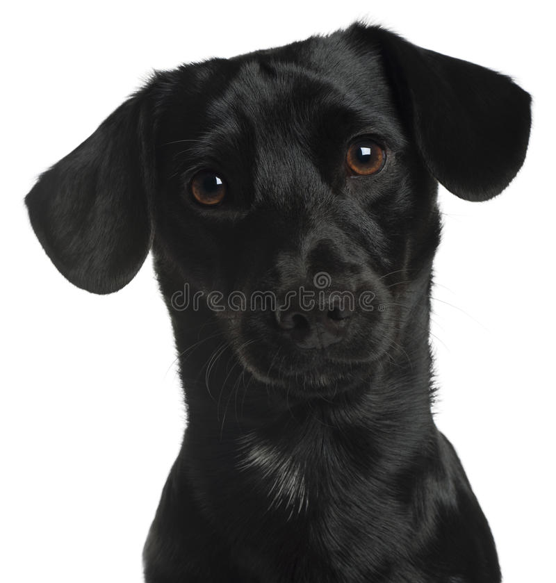 Download Close-up Of Dachshund, 8 Months Old Stock Image - Image: 20377179