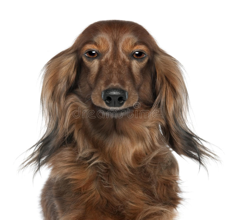 Close-up Of A Dachshund S Head Stock Image