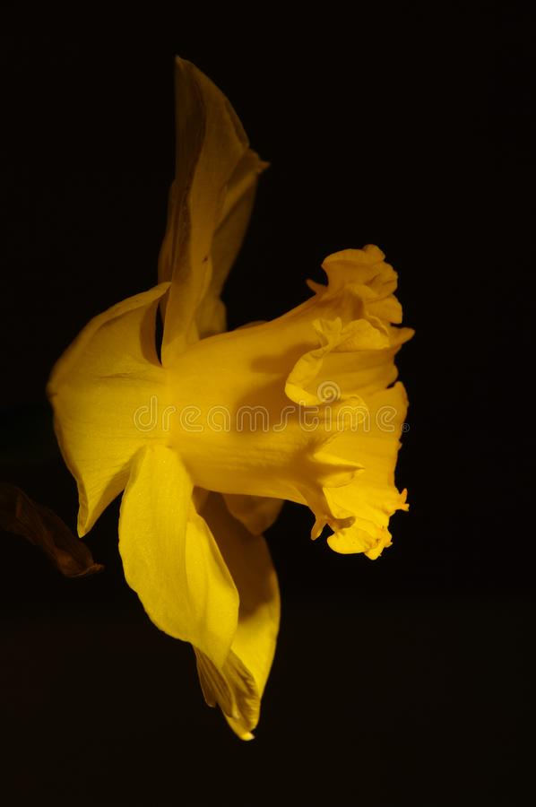 Download Close up of a daffodil stock image. Image of narcissuses - 13981079